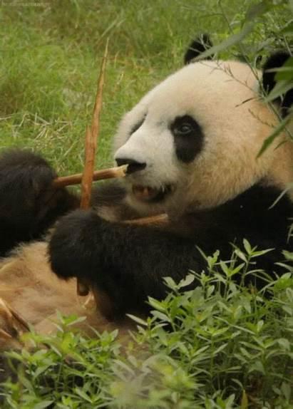 Panda Eating Bamboo Luvbat