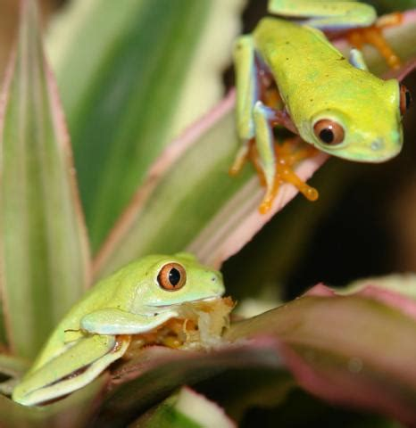 baby red eyed tree frogs  sale