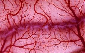 Scientists grow human blood vessels in a petri dish…