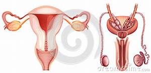 Male And Female Reproductive System Diagram Labeled Pictures