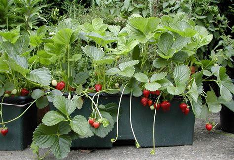 fraises choisir planter et entretenir ses fraisiers pratique fr