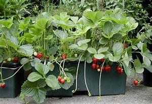 Plant De Fraisier : fraises choisir planter et entretenir ses fraisiers ~ Premium-room.com Idées de Décoration