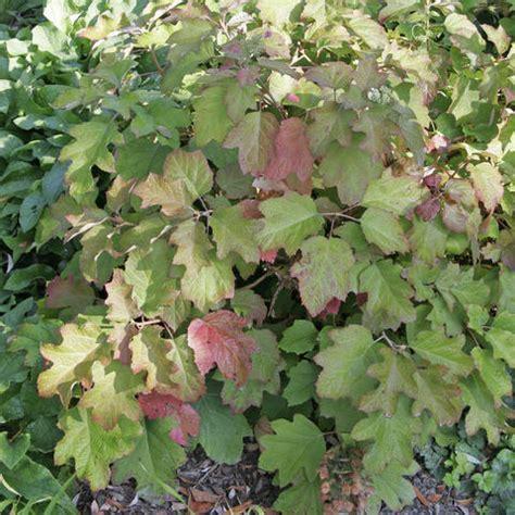 eichenblatt hortensie schneiden eichenblatt hortensie pflanzen und pflegen mein sch 246 ner