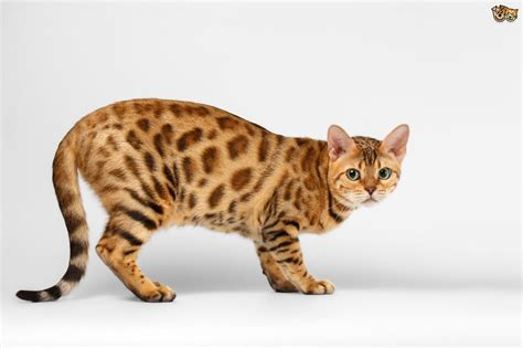 Cat Breeders by Cat Is It For You Pets4homes