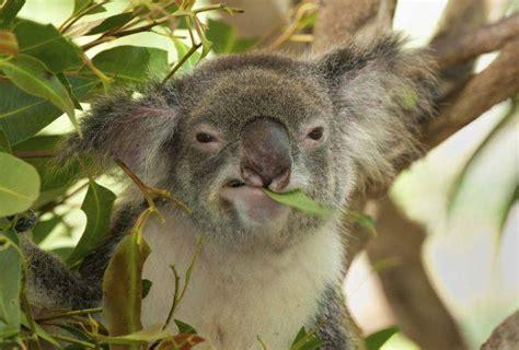 bichos asesinos el tierno  infame koala castrador blog