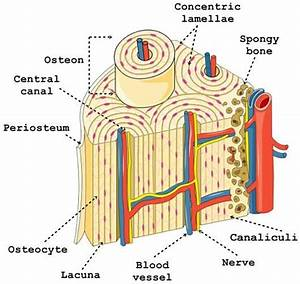 Bones And Bone Deveopment