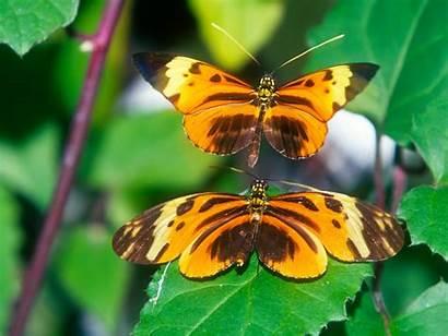 Butterfly Longwing Butterflies Motyle Mariposas Wallpapers Farfalle
