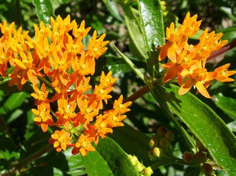 twelve native milkweeds  monarchs  national