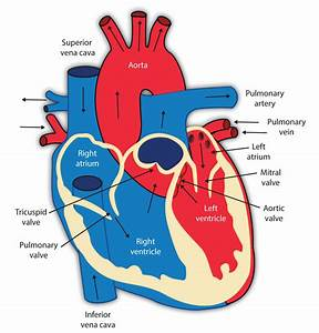 Circulatory System Heart And Lungs Diagram