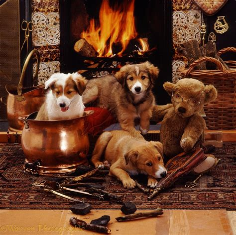 dogs for fireplaces dogs border collie pups by fireplace photo wp09127