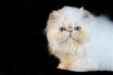 cream point himalayan persian kittens kingsley kittens himalayan persian kittens  sale