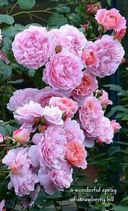 Langage Des Fleurs Pivoine : david austin rose strawberry hill the cottage garden pinterest rosier fleur jardin et fleurs ~ Melissatoandfro.com Idées de Décoration