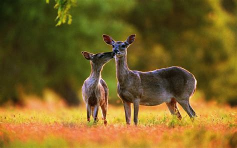 Animal Deer Wallpaper - deer hd wallpaper and background image 1920x1200