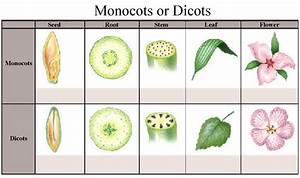 Pictures Of A Monocot