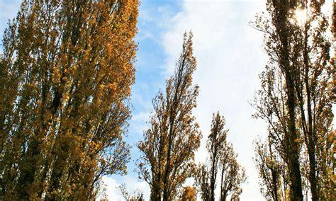 Poem: Poplars - InDaily