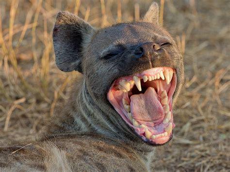 laughing hyena art journaling art hyena wild dogs