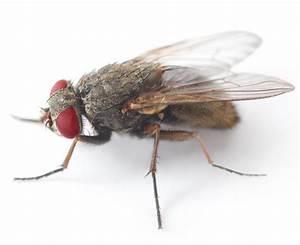 House Fly Eyesight