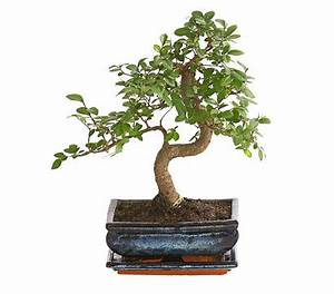 Bonsai pflege bonsai pflege bonsai ficus ginseng bonsai for Whirlpool garten mit bonsai wo kaufen