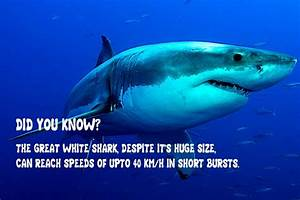 Great White Sharks Facts For Kids Free Clipart