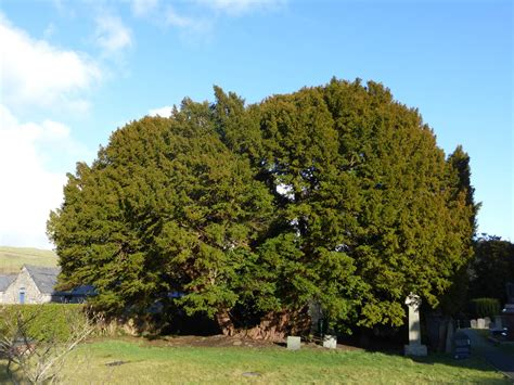 pictures of yew trees yew tree the hedge druid