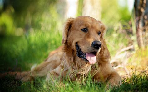Golden Retriever Dog Temperament Exercise And Pictures