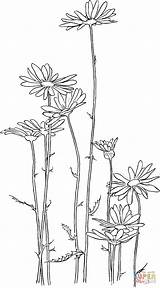 Margarita Oxeye Colorear Imprimir Margaritas Dibujo Dibujos Visitar Gratis Bordado sketch template