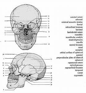 Skull Study Sheets