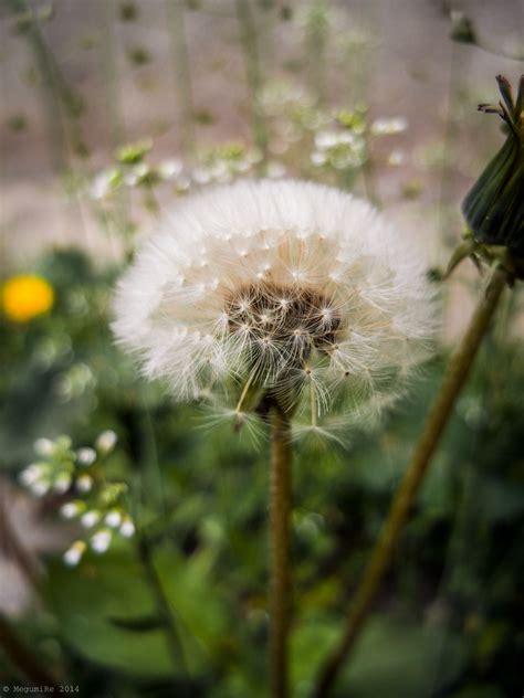 photo  megumire dandelion flower dandelion flowers