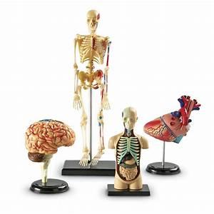 Anatomy Model Set  4pcs
