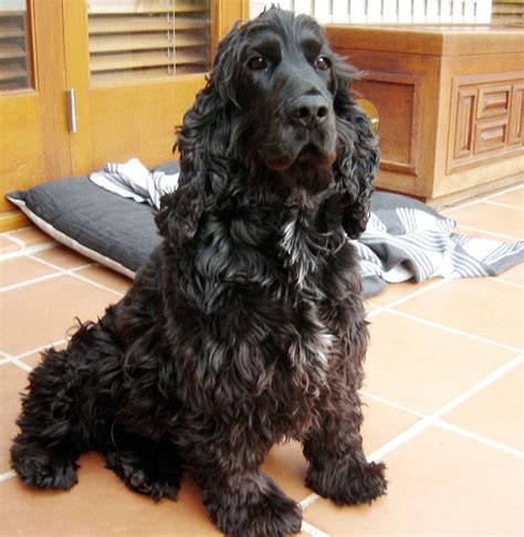 Do Spaniels Shed by The 25 Best Cocker Spaniel Temperament Ideas On