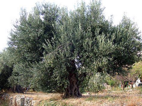 olivenbaum schneiden video olivenbaum schneiden