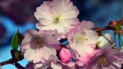 Blossom Cherry Flowers Close Wallpapers 4k Blossoms