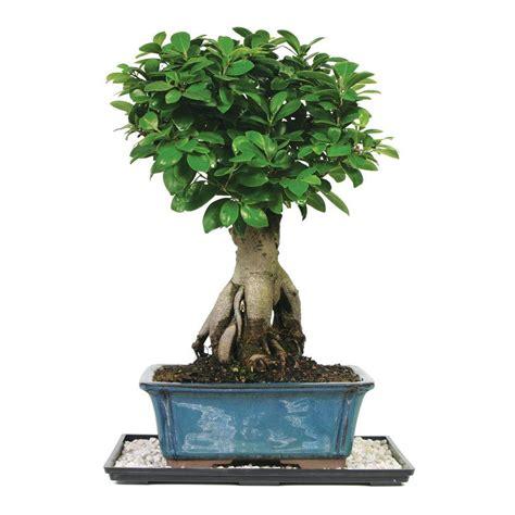 brussels bonsai gensing grafted ficus bonsai ct gmf
