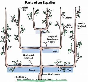 Anatomy Of An Espalier Fruit Tree