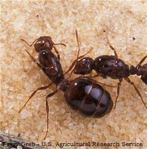 The gallery for --> Fire Ants Queen