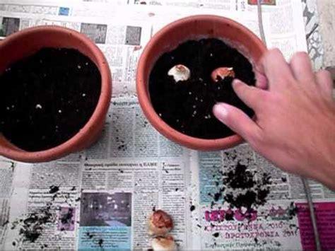 how you can plant tulipa s and ranunculus bulbs correctly