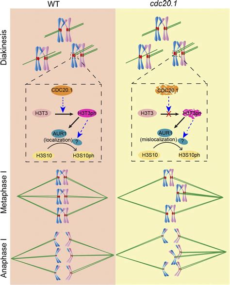 arabidopsis cell division cycle   required