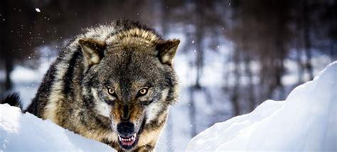 simbologia del lobo