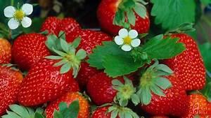 Erdbeeren Pflege Balkon : erdbeeren pflanzen die wichtigsten tipps ananas erdbeere ~ Lizthompson.info Haus und Dekorationen