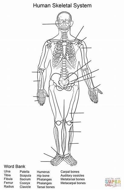 Skeletal Coloring Anatomy System Human Printable Worksheet