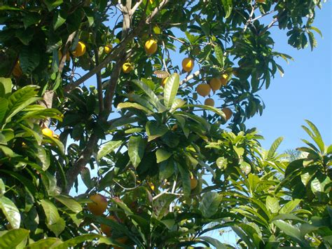 tree nurseries lucuma eggfruit pouteria lucuma zoom s edible plants