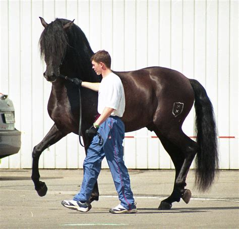 andalusian horse moscow commons history wikipedia wikimedia horses spanish stallion breed war pre spain andalusians iberian names origin andalusia andalusion