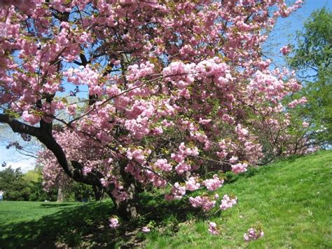 Flowering Trees Michigan  Google Search  Landscaping I