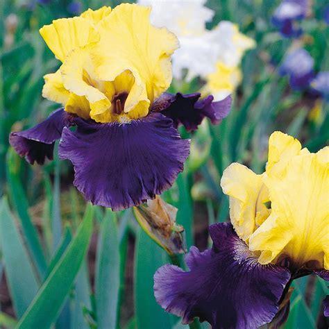 bloomsz crocosmia lucifer flower bulbs 10 pack 08463
