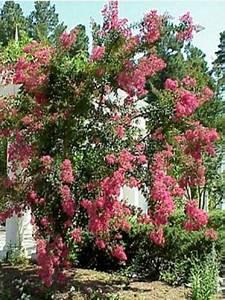Taille Du Lilas Des Indes : lilas des indes lagerstroemia indica le jardin du pic vert ~ Nature-et-papiers.com Idées de Décoration