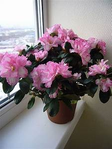 How, To, Care, For, Indoor, Azaleas