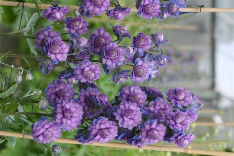eden pride  place plants delphiniums