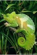 Chameleon Blume