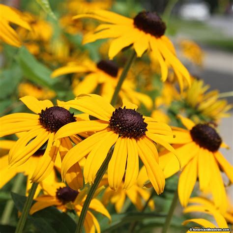 black eyed susan black eyed susan seeds rudbeckia american meadows