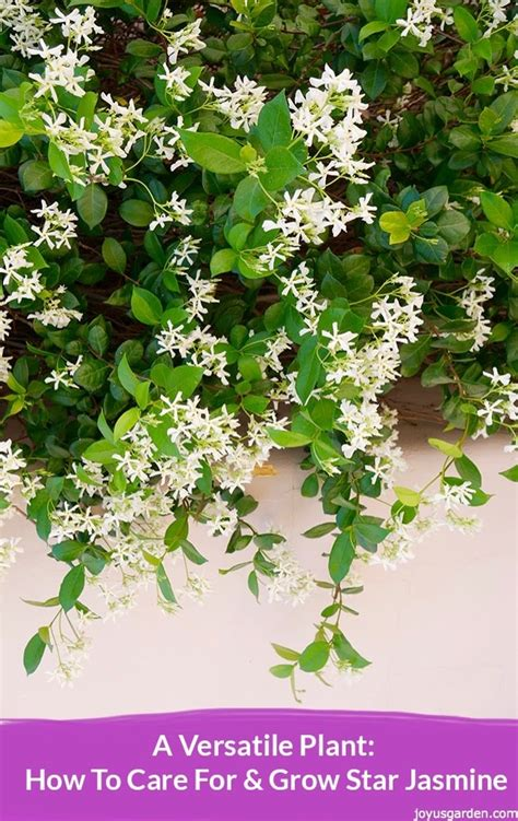 how to care for a plant star jasmine plant www pixshark com images galleries with a bite